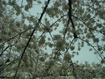 2013Mar23-Sakura11.jpg
