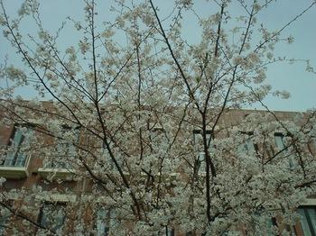 2013Mar23-Sakura2.jpg