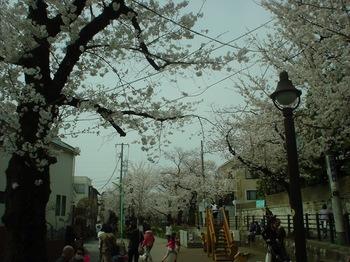 2013Mar23-Sakura3.jpg