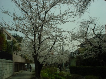 2013Mar23-Sakura4.jpg