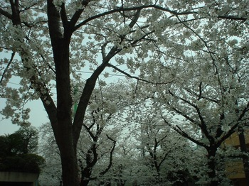2013Mar23-Sakura5.jpg