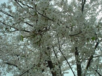 2013Mar23-Sakura6.jpg