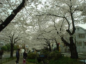 2013Mar23-Sakura8.jpg